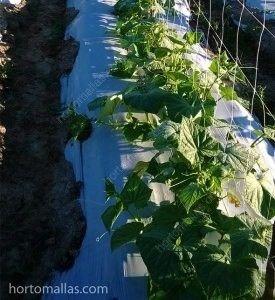 Cultivo de pepino com tutoramento de malha treliça.