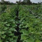 Cultivo de melão