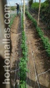 O cultivo de ervilhas funciona melhor quando se tutora com malha treliça