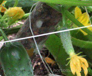 A malha treliça impede que os frutos de pepino estejam em contacto com o solo úmido, desta forma, evita o contágio de doenças por fungos ou bactérias que crescem na umidade do solo.