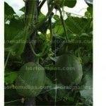 Os frutos das hortaliças como o melão crescem de uma forma melhor, longe do solo úmido, prevenindo o contágio de doenças que são formadas pela umidade.
