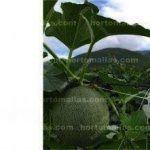 Em cultivos de melão é usado um fio tensor que reforça a resistência da malha para tutoramento de melão, é recomendável usar esta técnica em cultivos de produção elevada.