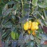 Biberlerin, meyvelerin ağırlığıyla dalların zarar görmemesi için arkların iki tarafından desteklenmeye ihtiyacı vardır.
