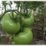 Правильная поддержка защищает растения от вредного воздействия ветра