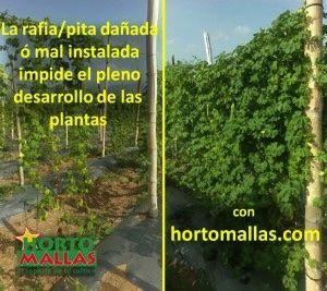 Nella foto: La rafia danneggiata o istallata male impedisce il pieno sviluppo delle piante.