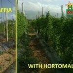rafya ve HORTOMALLAS® destek filesi karşılaştırması