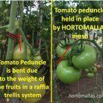 Domates ürünlerinize en iyi bitki sağlığını sağlamanın yanında, domateslerinizi HORTOMALLAS ile terbiye etmek rafyadan sarkan salkımların ağırlıkları altında zarar görmesinin önüne geçerek aynı zamanda meyve büyüklüğünü de arttırır.