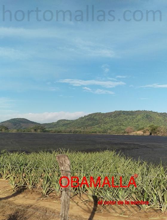 Cultivo de Agave azul en campo abierto, protegido con malla sombra.