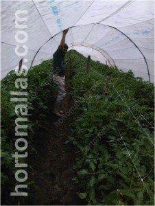 تنمو نباتات الطماطم/ البندورة في الدفيئات النفقية الكبيرة (macrotunnel) بالطريقة الأفضل باستخدام شبكة عرائش هورتو مولاس مزدوجة الصفوف/الخطوط.