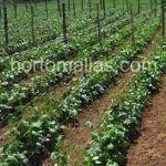 Le reti per l'orticoltura migliorano le condizioni per un buon sviluppo della coltura.