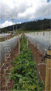 In caso di collocare un telo contro le gelate INVERNAVELO, si raccomanda utilizzare la rete per pomodori in entrambi i lati.