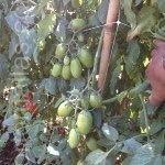 Le malattie trasmesse per via meccanica nel pomodoro sono ridotte con l'utilizzo della rete di supporto verticale HORTOMALLAS durante le fasi di crescita e di tutoraggio della pianta.