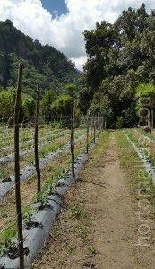 HORTOMALLAS 番茄支撑网也可安装成传统单壁(单排)网来支持作物。与双壁(双排)网相比,这种系统增加了劳动力,但不管怎样,都比用酒椰绳支持支撑番茄要省钱。