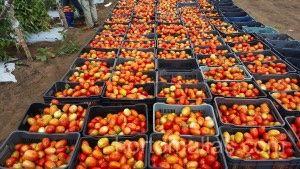 使用HORTOMALLAS番茄支撑网可以达到更高水平的有机生产。
