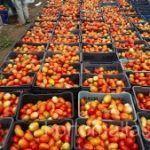 HORTOMALLAS domates destek filesi ile yüksek düzeylerde organik üretime ulaşabilirsiniz.