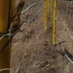 Esempio di tutoraggio di ortaggi usando un doppio muro di rete a spalliera. Questo sistema riduce l'incidenza di agenti patogeni trasmessi meccanicamente.
