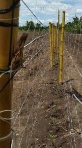 Esempio di doppio muro nella rete a spalliera.Questo sistema riduce il rischio di trasmissione meccanica dei fattori patogeni.