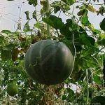 البطيخ ينمو بشكل آمن عندما شبك العريشة للتوجيه , وتجنب انتشار الأمراض و المعاملة السيئة للأزهار من قبل العمال.
