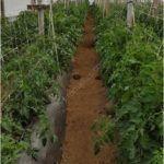 Sade bir sera yapısı içerisine yerleştirilmiş HORTOMALLAS domates destek filesi, çift duvar kullanımı domates bitkisinin polinasyonu ve çiçeklenmesini artırır