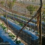 Dettaglio di come termina un solco in una piantagione di pepino pickle in cui si impiega HORTOMALLAS come rete di sostegno insieme a una trappola per insetti.