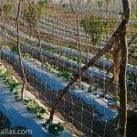 使用Hortomallas垂直支架支撑小黄瓜作物