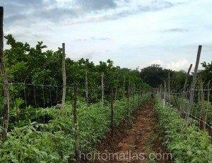 (Of all)在所有有关植物的支撑和整枝的方法中,支架网(或蔬菜支撑网)是专业种植者最具创新性及低成本高效益的方法。