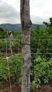 Dettaglio della legatura della rete di sostegno HORTOMALLAS a un palo in una coltivazione di melone, in campo aperto.