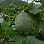 Kavun bitkilerinin desteklenmesi için HORTOMALLAS® Kavun filesi