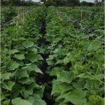 HORTOMALLAS, bitkilerin dikey yönlendirilmesi sayesinde kavun yetiştiricilerin yüksek ekin yoğunluğu sağlamasına imkan tanımaktadır.