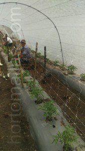 Nel caso dei pomodori il tutoraggio con rete per pomodori é molto importante per aumentare il raccolto.