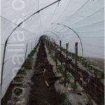 Esempio di un'istallazione di spalliere per pomodori in un macro tunnel di pomodori.