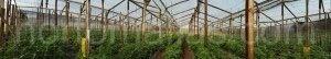 HORTOMALLAS terbiye ağı domates üretimini hastalıkların mekanik yoldan bulaşmasının önüne geçerek yüksek teknoloji kullanmayan seralarda dahi yukarıya çeker.