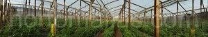 HORTOMALLAS支架网(trellis netting)能够通过减少病害的机械传播来增加番茄的产量,即使在技术含量不高的温室。