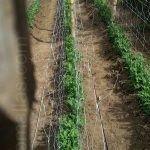 栽培豌豆时可以使用双排支撑网。