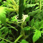L'uso degli anelli per il tutoraggio HORTOCLIPS facilita enormemente il lavoro di sistemazione delle piante sopra il sistema di sostegno. Questo puó essere sia una rete a spalliera come HORTOMALLAS, sia rafia oppure pali come en el caso de queste piante di pomodoro.