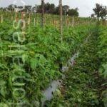Il sistema di sostegno per pomodori con rete a spalliera HORTOMALLAS facilita la potatura.
