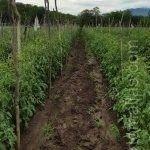 ان تعريش النبات عن طريق استخدام شبكة التعريشات يساعدنا بالحصول على نبات ذا مقاومة عالية للرياح الجافة