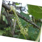 الجزء اللولبي يعمل كنقاط ارتكاز لتسلق النباتات أو نظم إرشادية أخرى والحصول على أكبر قدر من الضوء.