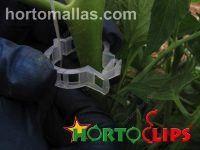 anillo-tomatero-HORTOCLIPS-colocado-en-tomate-como-ayuda-para-el-soporte-del-cultivo-2