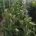 HORTOMALLAS® ile biberlerin desteklenmesinde çift duvarlı sistem kullanılması bitki sağlığı açısından birçok avantaja sahiptir.