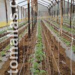 使用双排网支撑番茄作物的优势是植物能够在犁沟两侧同时获得支撑。