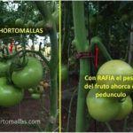 A differenza del sistema che usa la rafia che strozza i grappoli di pomodoro, HORTOMALLAS puó agire come sostegno del peso del pomodoro.