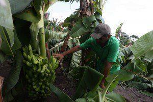 الأمطار الغزيرة من الأعاصير والأمراض النباتيه تسببت في ضرر فوري .