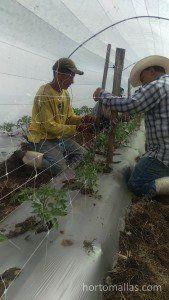 在大棚内安装HORTOMALLAS番茄支撑网