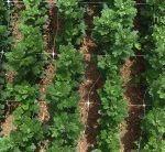 La rete di supporto HORTOMALLAS guida verticalmente e mantiene retti i gambi dei fiori da taglio