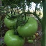 Peduncolo del pomodoro sostenuto dalle reti per l'orticoltura HORTOMALLAS.