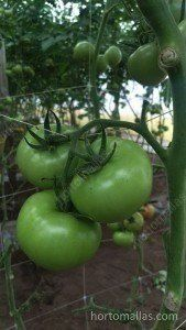 使用HORTOMALLAS支持和支撑番茄果梗