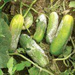 Tipico esempio di una coltivazione pregiudicata dai forti cambi climatici. Le forti piogge fuori stagione causano danni agli agricoltori che coltivano tradizionalmente al suolo.