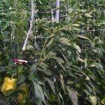 对于辣椒,胡椒以及番茄,推荐使用双排作物支架网