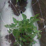 Qui si nota come si lega la parte inferiore della rete di sostegno HORTOMALLAS per guidare la pianta di pomodoro verso i quadri superiori della rete.